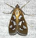 moth - Diastictis robustior
