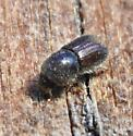 Brown Fuzzy Beetle - Ips