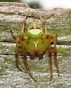 Which Araneus? - Araneus bonsallae - male