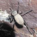 Fuzzy darkling - Eleodes pilosa