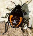 Orange and Black Nymph  - Augocoris illustris