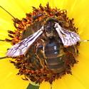 Another Sunflower Nomia? - Dieunomia heteropoda