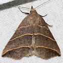 Yellow-lined Owlet Moth - Colobochyla interpuncta