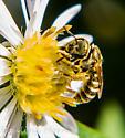 Small Bee - Halictus confusus