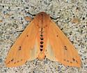 Moth - Pyrrharctia isabella