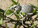 Desert Broad-nosed Weevil - Ophryastes desertus