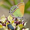 Sandia Hairstreak - Callophrys mcfarlandi