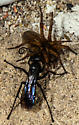 Spider Wasp (Pompilidae) - Anoplius - female