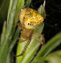 Araneus partitus ? - Araneus partitus - female