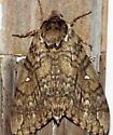 Moth - Ceratomia undulosa
