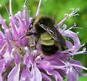 Bumble Bee on Bergamot - Bombus terricola? - Bombus terricola