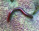 Reddish Millipede