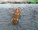 Beetle - Eburia quadrigeminata