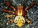 X. californicus male - Xysticus californicus - male