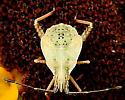 Flat bug? - Harmostes