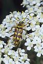 Lepturne Beetle - Typocerus velutinus