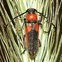 Beetle - Crossidius discoideus - female
