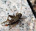 # 184 - Allonemobius fasciatus - female