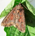 Moth 6 - Apamea amputatrix