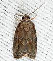 Black-olive Caterpillar Moth  - Garella nilotica