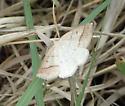 Eusarca confusaria ? - Petrophora subaequaria