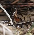 Epirrhoe plebeculata? - Epirrhoe plebeculata