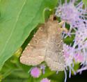 beige moth - Protorthodes orobia