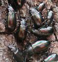 beetles - Tarpela micans - male - female