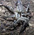 Can anyone identify this guy? - Agelenopsis - male