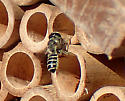 Megachile preparing nest - Megachile policaris - female
