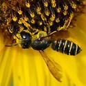 Megachile pugnata? on sunflower - Megachile inimica - female