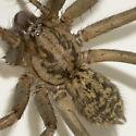 spider - Eratigena atrica - female