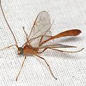 Ichneumon Wasp - Enicospilus purgatus - male