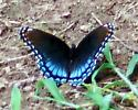 Red-spotted Purple (Limenitis arthemis astyanax) - female - Limenitis arthemis - female