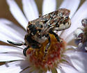Zacosmia maculata - male