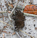 Another species of Duskywing?  - Erynnis brizo