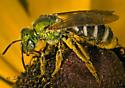 9026173 Agapostemon - Agapostemon virescens - female