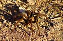Giant desert spider - Aphonopelma iodius