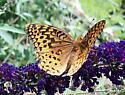 Fritillary? - Speyeria cybele - male