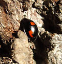 Pine Ladybird Beetle - Brumus quadripustulatus
