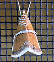 5 White Stripes Near Head Moth - Abegesta