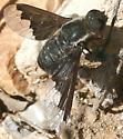 bee fly ? villa sp ?