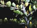 camouflaged Platylyra californica - Platylyra californica - male