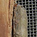 Cutworm Caterpillar? - Spodoptera latifascia
