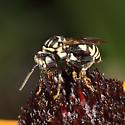 Triepeolus sp.? - Triepeolus