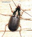Chlaenius pusillus ? - Chlaenius tricolor