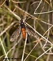 Crane Fly - Nephrotoma altissima