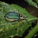 Skeletonizing Leaf Beetle, female - Trirhabda flavolimbata - female