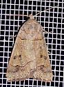 Phoberia atomeris - Phoberia atomaris