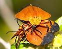 Heteroptera  ID? - Lycus fernandezi - male